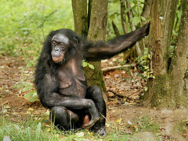 Bonobo female - photo by © Hans Hillewaert / CC-BY-SA-3.0