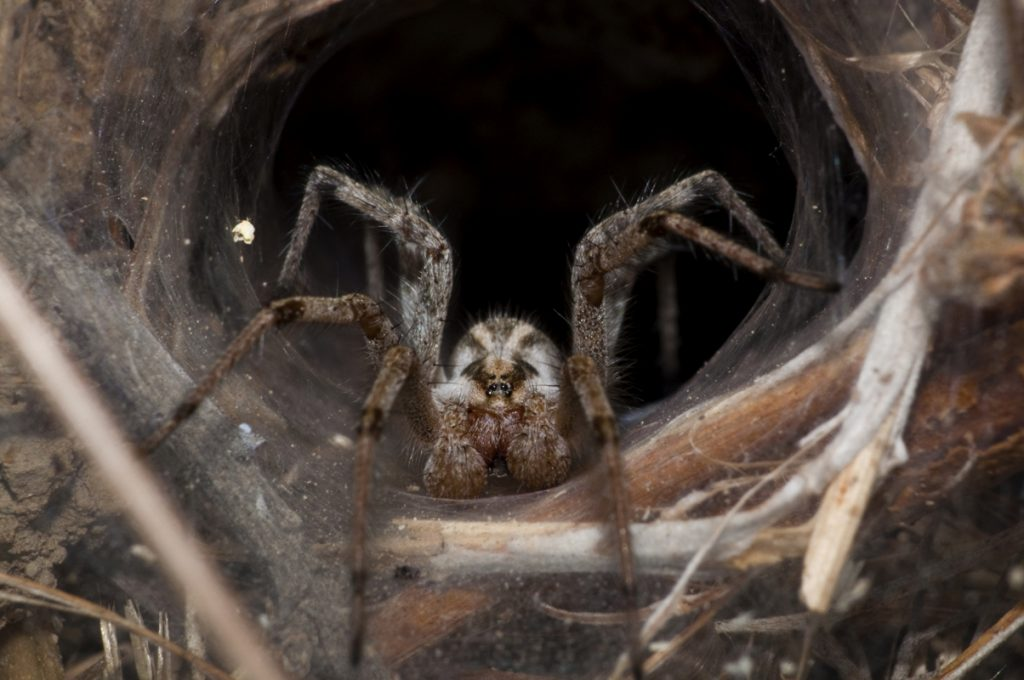 """Note: While this image is labeled """"Brown Recluse Spider"""" on Wikipedia, it is almost certainly not an image of a brown recluse. It was taken far outside the spider's home range, it has markings inconsistent with a brown recluse, and to my knowledge brown recluse spiders do not build funnel-webs."""
