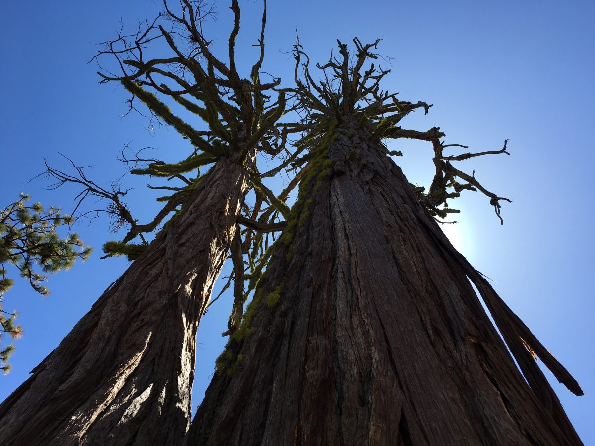 View up at giant sequoia trees in Yosemite National Park
