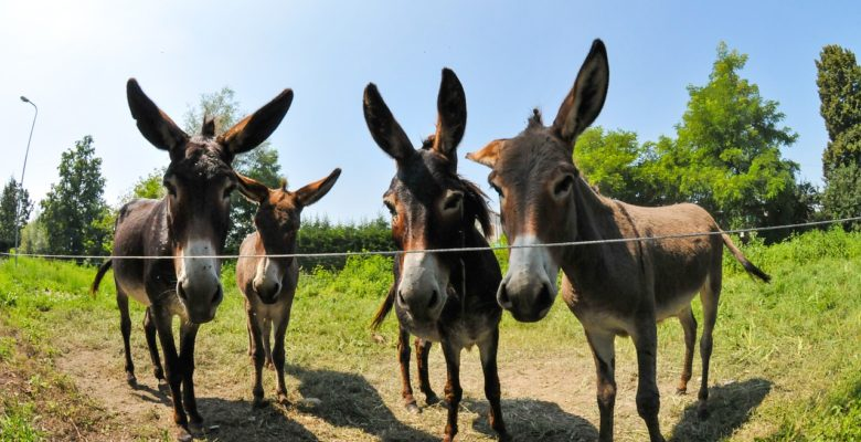 Four donkeys in a field