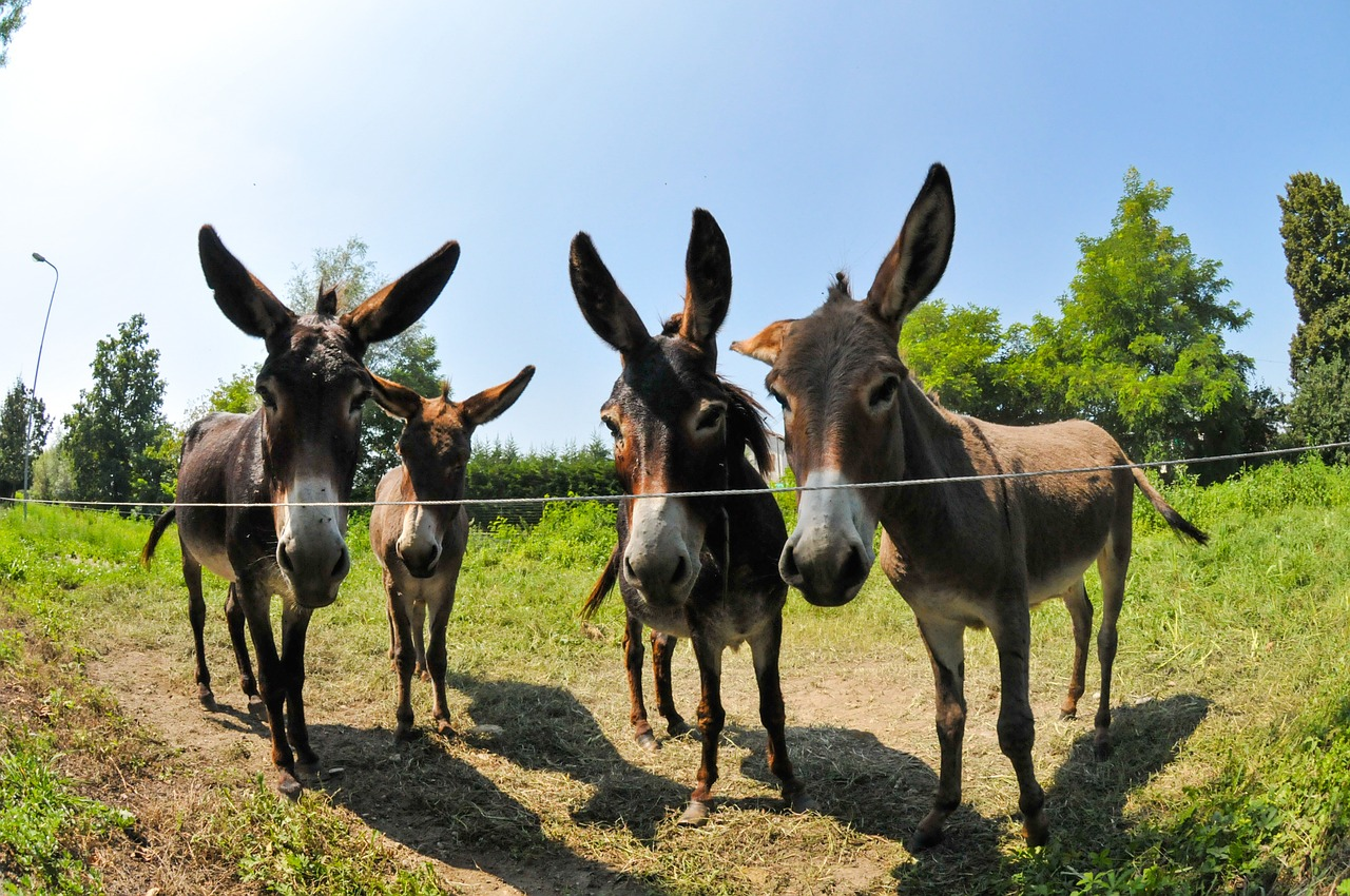 Four donkeys in a field